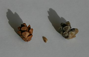 Two hemlock cones: one with seeds, one without (photo by Kate St. John)