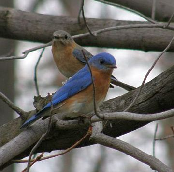 Male and female Eastern Bluebirds (photo by Marcy Cunkelman)