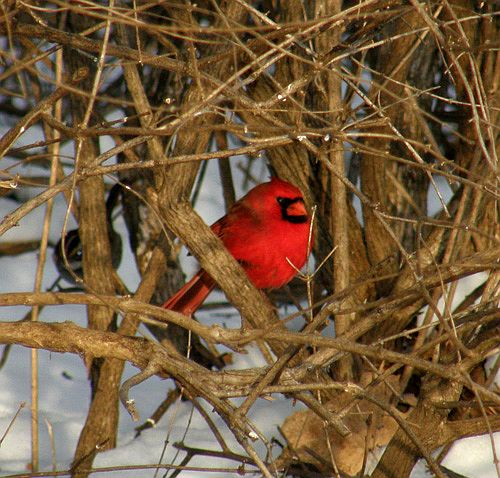 Northern Cardinal (photo by Marcy Cunkelman)