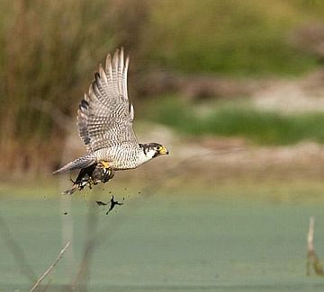 Peregrine Falcon captures a Killdeer (photo by Cris Hamilton)