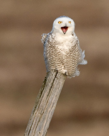 Snowy Owl at Amherst Island, Ontario (photo by Kim Steininger)
