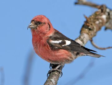 White-winged Crossbill (photo by Raymond J Barlow)