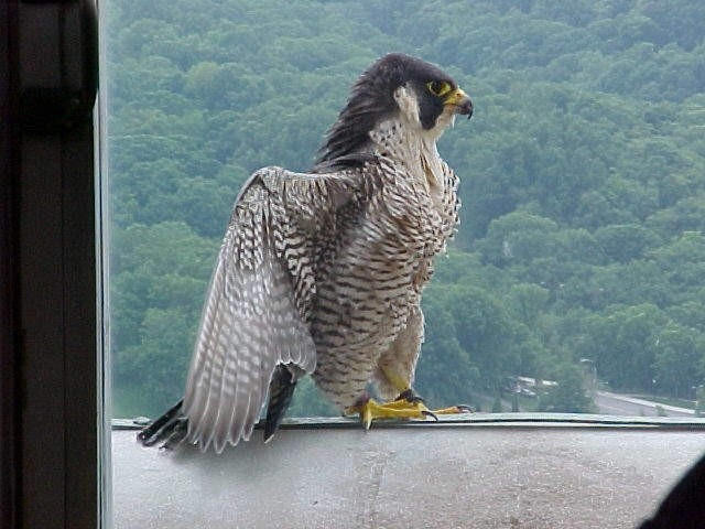 Peregrine mother, Dorothy, defends her babies on banding day, 2004 (photo by Jack Rowley)