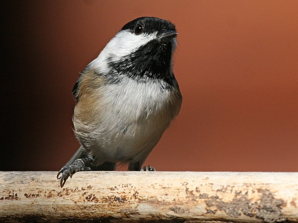 Black-capped chickadee (photo by Chuck Tague)
