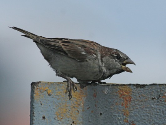 House sparrow in aggressive posture (photo by Chuck Tague)