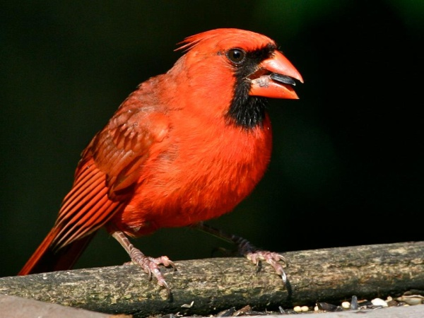 Northern cardinal eating sunflower seeds (photo by Chuck Tague)