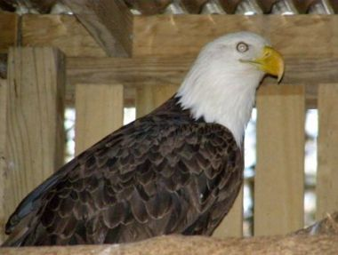 Bald Eagle in rehab for lead poisoning at Medina Raptor Center, Medina, Ohio (photo by Debbie Parker)