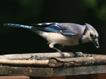 Blue Jay (photo by Chuck Tague)