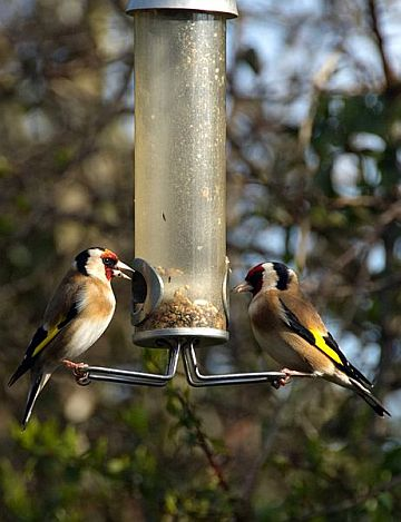 European Goldfinches (photo from Wikimedia Commons)