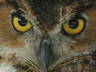 Great Horned Owl (photo by Chuck Tague)