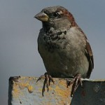 House sparrow (photo by Chuck Tague)