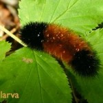 Wooly Bear caterpillar (photo by Chuck Tague)
