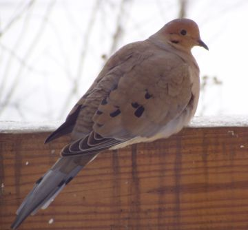 Mourning Dove (photo by Marcy Cunkelman)