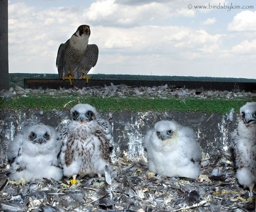 Peregrine Falcon with chicks (photo by Kim Steininger)
