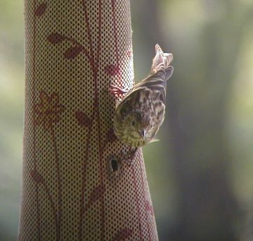 Pine Siskin (photo by Marcy Cunkelman)