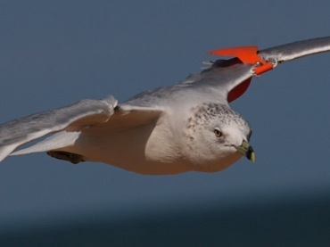 Wing-tagged Ring-billed Gull (photo by Chuck Tague)
