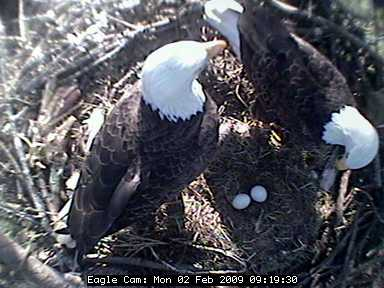 Bald Eagle pair at Blackwater NWR (photo from Friends of Blackwater eagle cam)