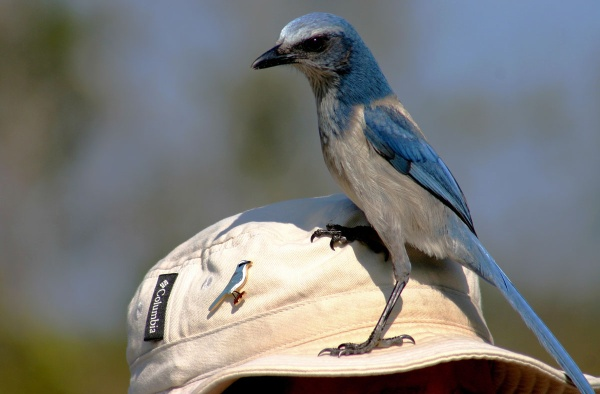 Florida scrub-jay on Joan's hat (photo by Chuck Tague)