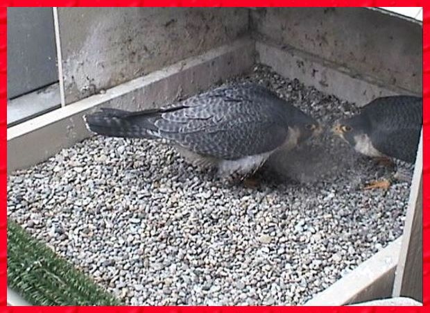 Dorothy and E2 bow at the nest (photo from the National Aviary webcam)