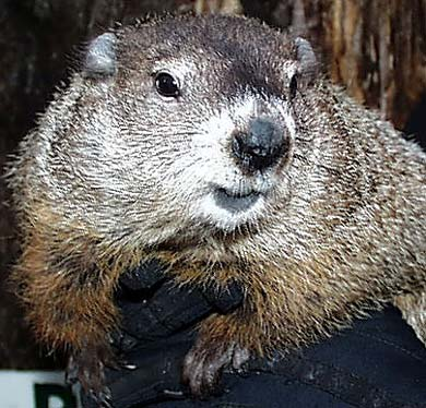Punxsutawney Phil, Groundhog (photo from his very own website)