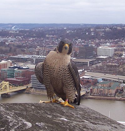 Tasha, the female peregrine falcon at Gulf Tower (photo by Todd Katzner)
