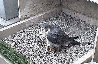 Peregrine falcon, Dorothy, gazes at the webcam at Univ of Pittsburgh