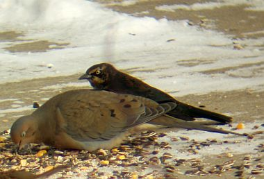 Rusty Blackbird - standing behind a mourning dove (photo by Marcy Cunkelman)