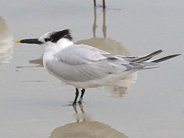 Sandwich Tern (photo by Chuck Tague)