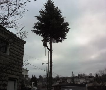 The last spruce being cut down in my neighbors' yard (photo by Kate St. John)