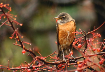 American Robin in the rain (photo by Chuck Tague)