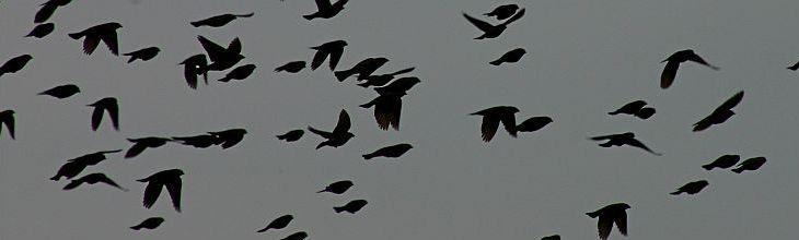 Brown-headed cowbird flock (photo by Chuck Tague)