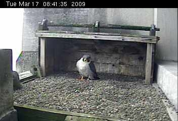 Peregrine female at Gulf Tower, Pittsburgh (photo from Aviary webcam)