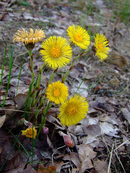 Coltsfoot in bloom (photo from Wikimedia Commons)