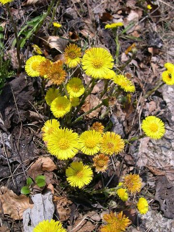 Coltsfoot blooming (photo from Wikipedia under GNU Free License)
