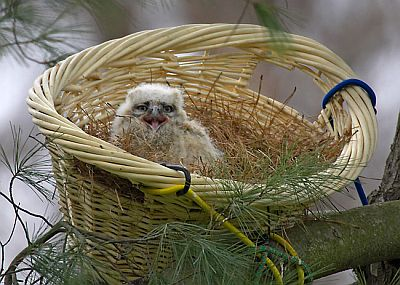 A Great-horned Owlet re-nested by Tri-State Bird & Rescue (photo by Kim Steininger)