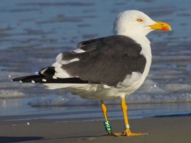 Lesser black-backed gull, F05 (photo by Chuck Tague)
