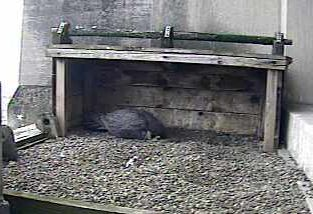 Female peregrine incubates her eggs at Gulf Tower, Pittsburgh, 2009 (photo from National Aviary webcam)