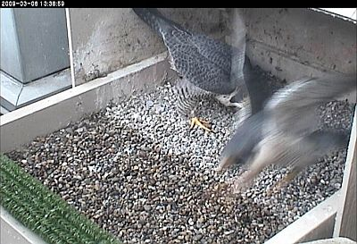 E2 goes airborne as he leaves the nest (photo from National Aviary webcam)