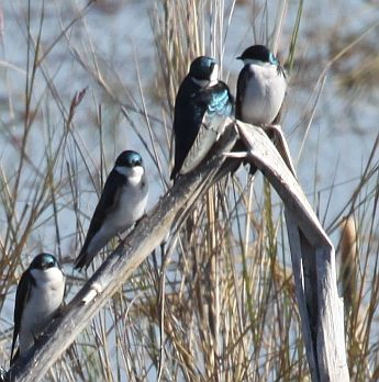 Tree Swallows gather for migration (photo by Chuck Tague)