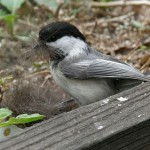 Black-capped Chickadee with nesting material (photo by Marcy Cunkelman)