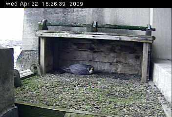 Peregrine falcon, Tasha, incubating eggs at Gulf Tower (photo from National Aviary webcam)
