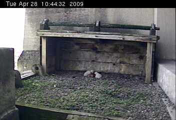 Two chicks at Gulf tower (photo from National Aviary webcam)