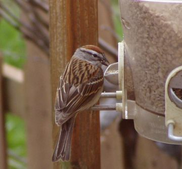 Chipping Sparrow (photo by Marcy Cunkelman)