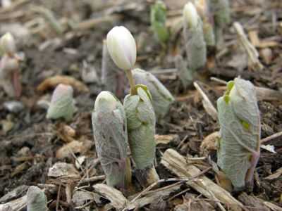 Bloodroot, before it opens (photo by Marcy Cunkelman)