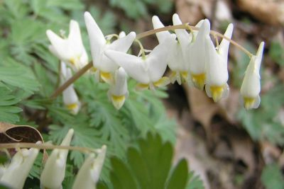 Dutchman's Breeches (photo by Diane Machesney)