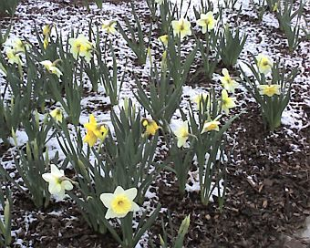 Daffodils in light snow (photo by Kate St. John)