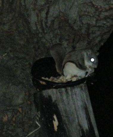 Flying squirrel at Marcy's feeder (photo by Marcy Cunkelman)