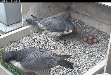 Dorothy and E2 at University of Pittsburgh (photo from National Aviary webcam)
