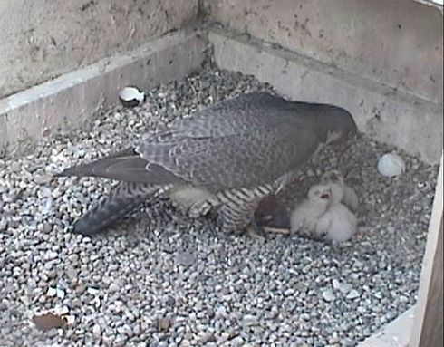 Dorothy feeds three nestlings at Pitt (photo from National Aviary webcam)