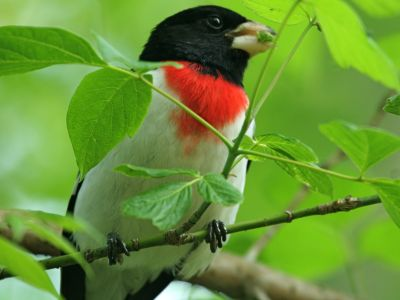 Male Rose-breasted Grosbeak (photo by Chuck Tague)